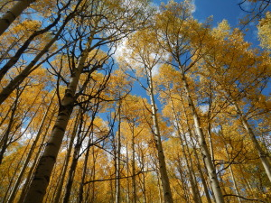Colorado Aspens 2014